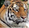 Tatiana_the_siberian_tiger_sf